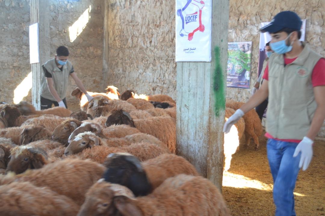 Préparation des mouton pour l'Aid Al Adha 2019 - Sos Syrie