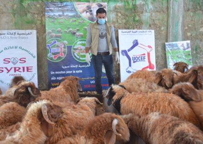 Préparation des moutons pour l'Aid Al Adha 2019